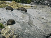 Seals basking at Milford Sound